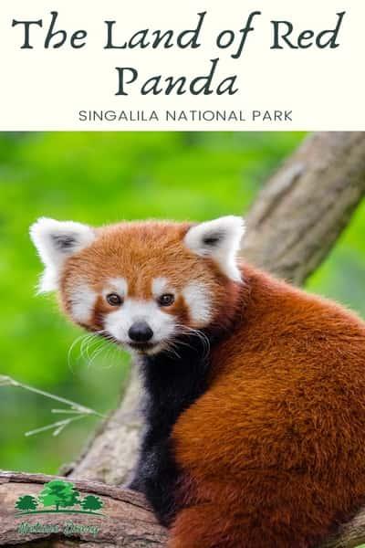 Red panda in Sandakphu trekking
