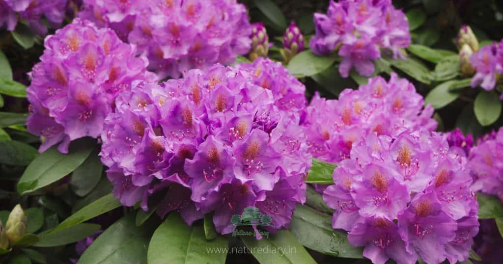 rhododendron at sandakphu