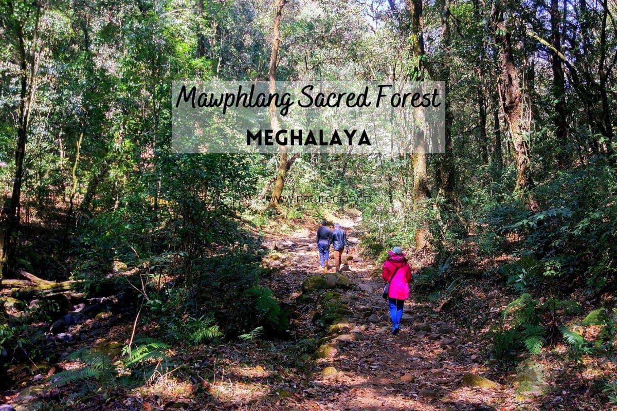 mawphlang sacred forest in meghalaya