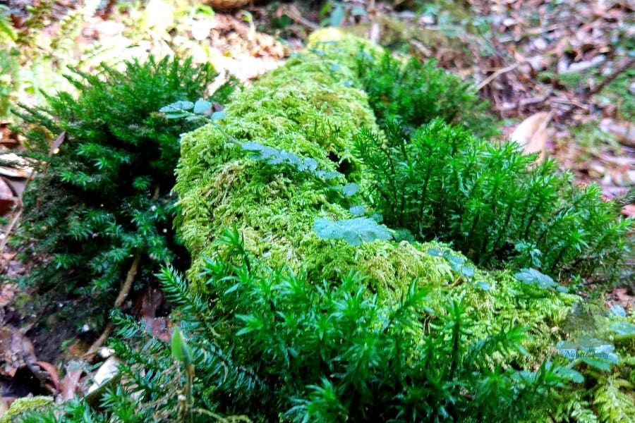 moss and fern in mawphlang sacred forest