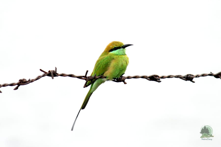 Asian green bee eater  in Henry island