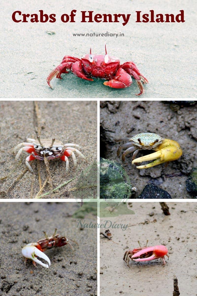 colorful yellow, white, black, red crabs of henry island