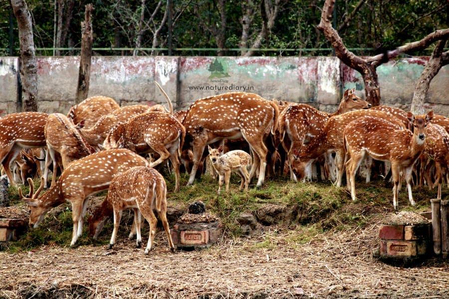 deer in Bakkhali Crocodile Park
