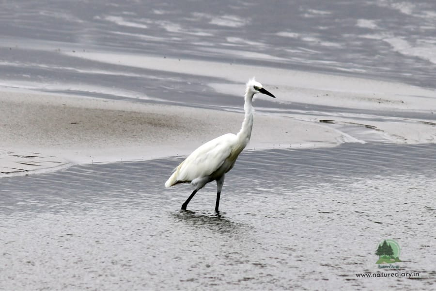The great egret in Henry's Island
