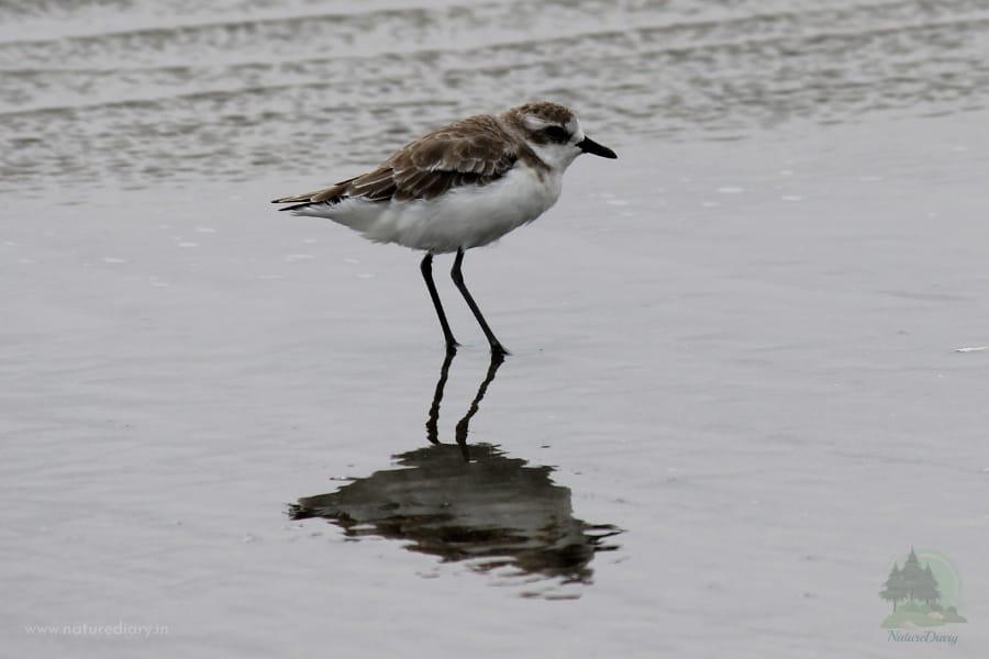 plover bird in Henry Island